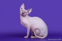 Канадский Сфинкс котята