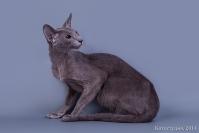 Кошки Ориентальной породы