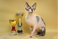 Коты породы Канадский Сфинкс