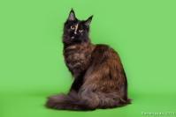 Кошки породы Мейн Кун