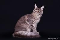 Коты породы Мейн кун
