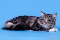 Кошки Норвежской породы