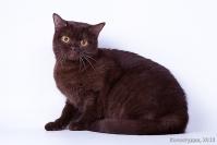 Кошки  Британской породы