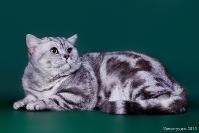 Коты  Британской породы