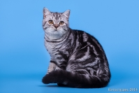 Коты Шотландской породы