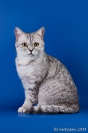 Кошки Шотландской породы